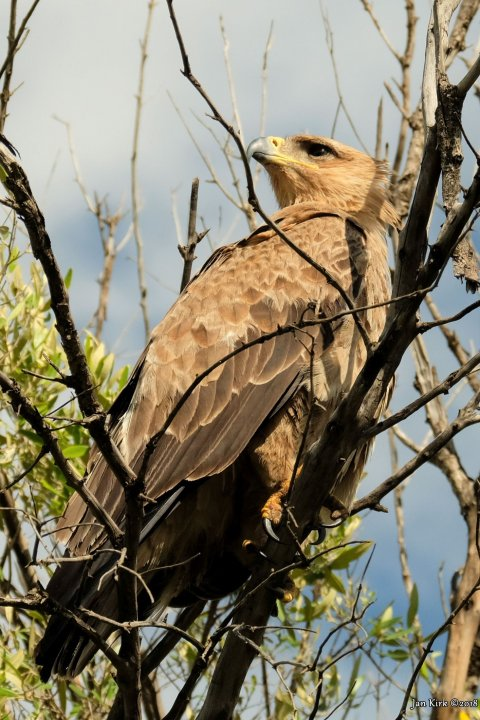 Masai Mara, Birds of Prey