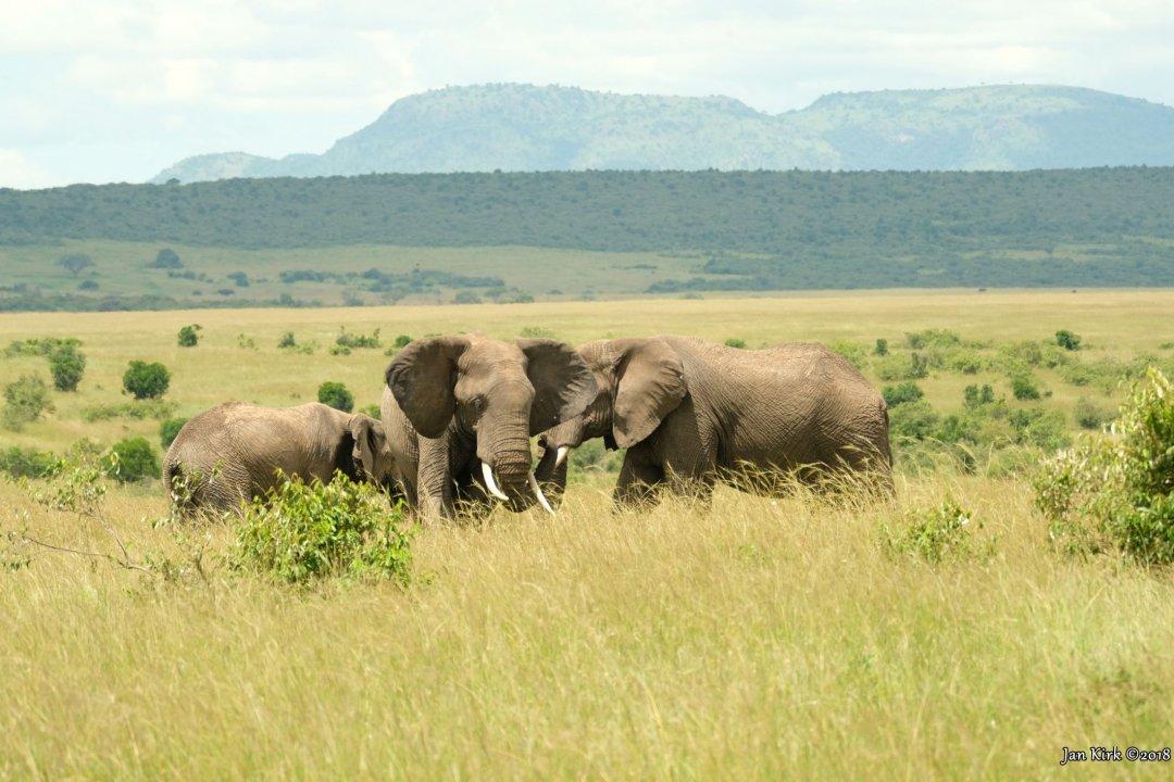 Herbivores of Masai Mara
